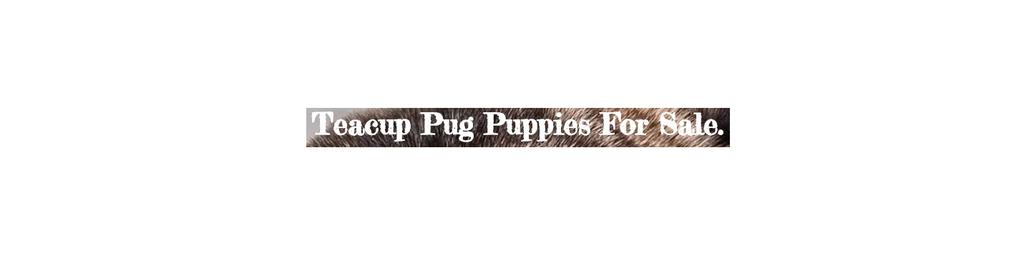 Teacup Pugs 4 Sale Home  | Virginia Beach, VA, USA Startup