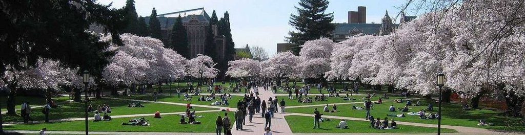 University washington quad campus cherry trees