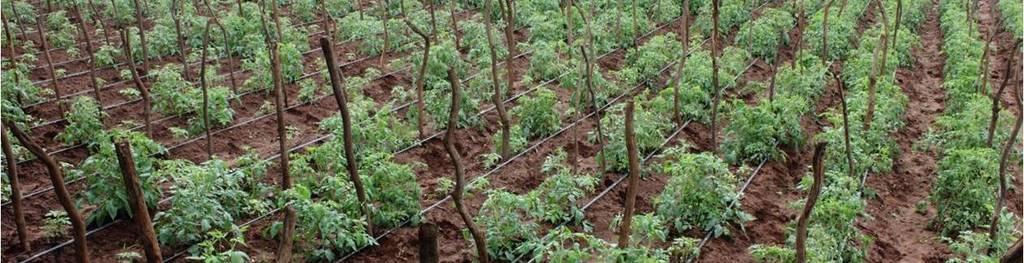 Tomato 20field