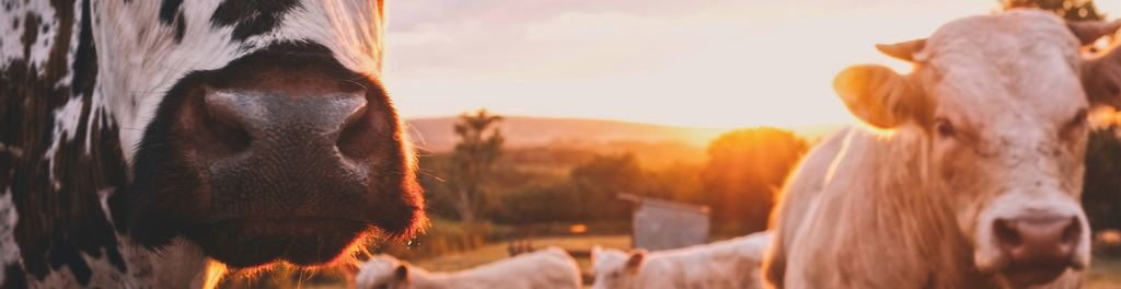 Cows 20in 20sunset