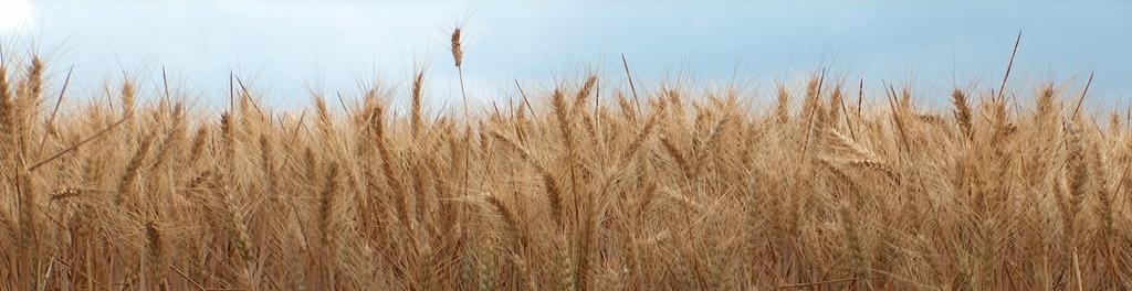 Barley 1390739